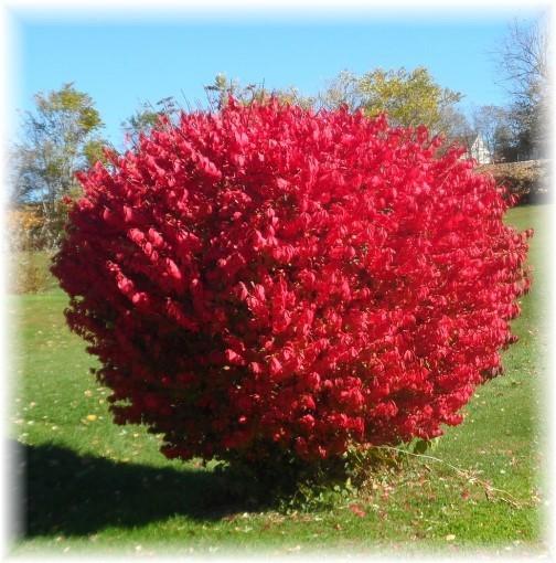 Burning Bush For Sale | Buy Euonymus Alatus