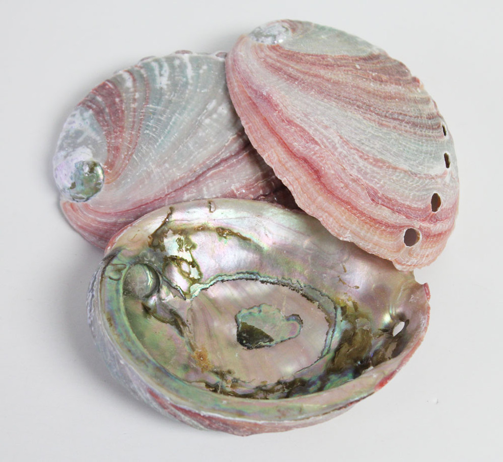 Inside of Red Abalone
