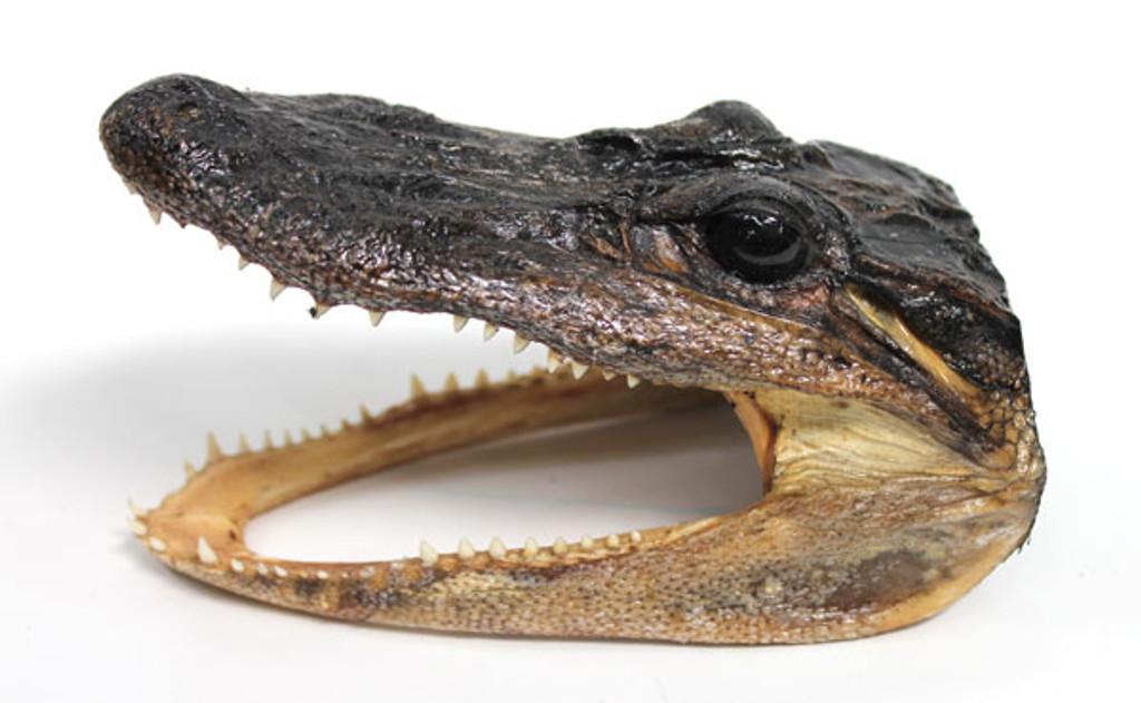 """Alligator Head 5-6"""""""