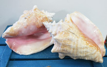 Pink Conch Shells