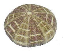 Alfonso or Calico Sea Urchin