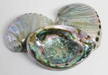Polished Blue Green Abalone