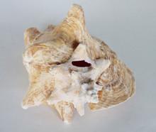 Pink Conch (slit back)