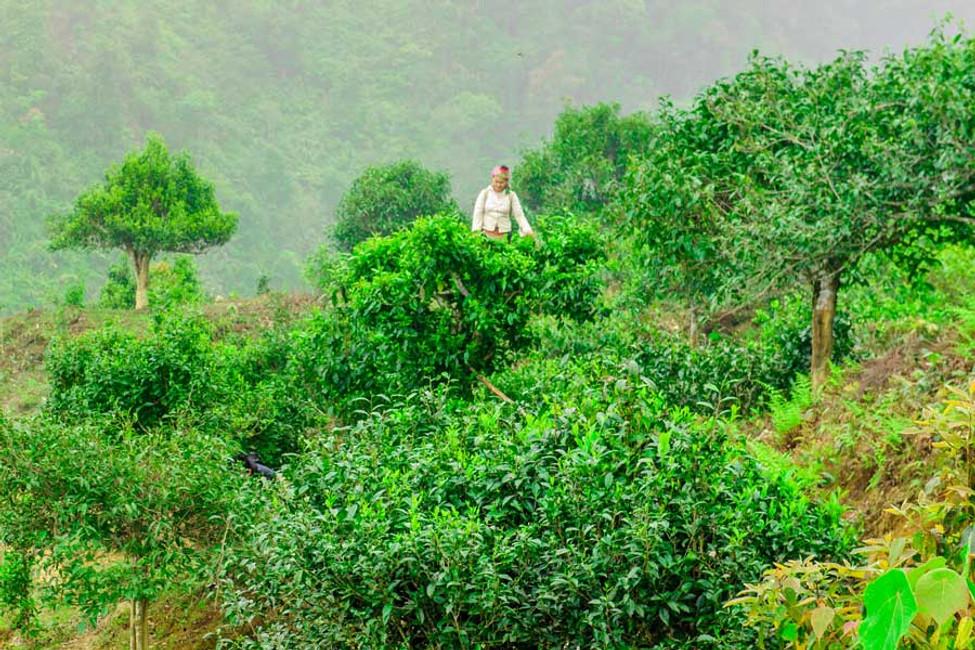 Wild Tea Trees of Vietnam