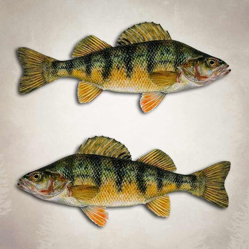 Yellow Perch Fishing Decal