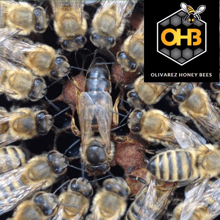 Saskatraz Queen Honey Bees For Sale Free Shipped