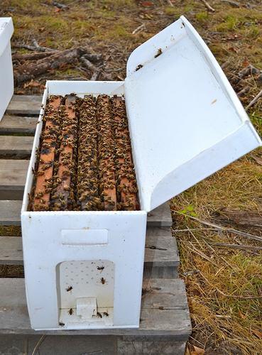 5 Frame Saskatraz Honey Bee Nucs shipped
