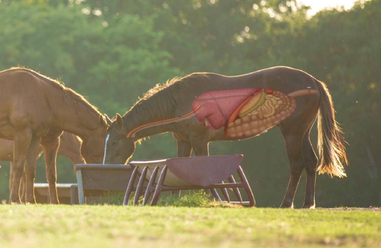 Digestive Support for Horses: Prebiotics and Probiotics