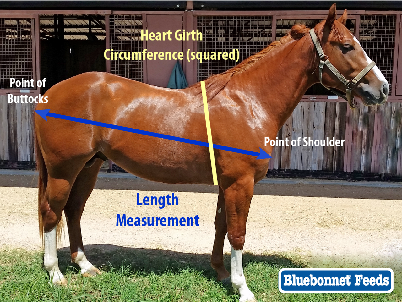 Estimating Body Weight of Your Horse