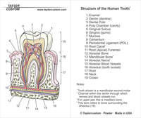 tooth anatomy locket packaging