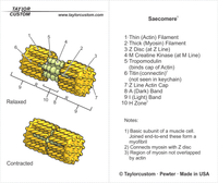 sarcomere keychain packaging