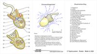 choanoflagellate diagram - product packaging