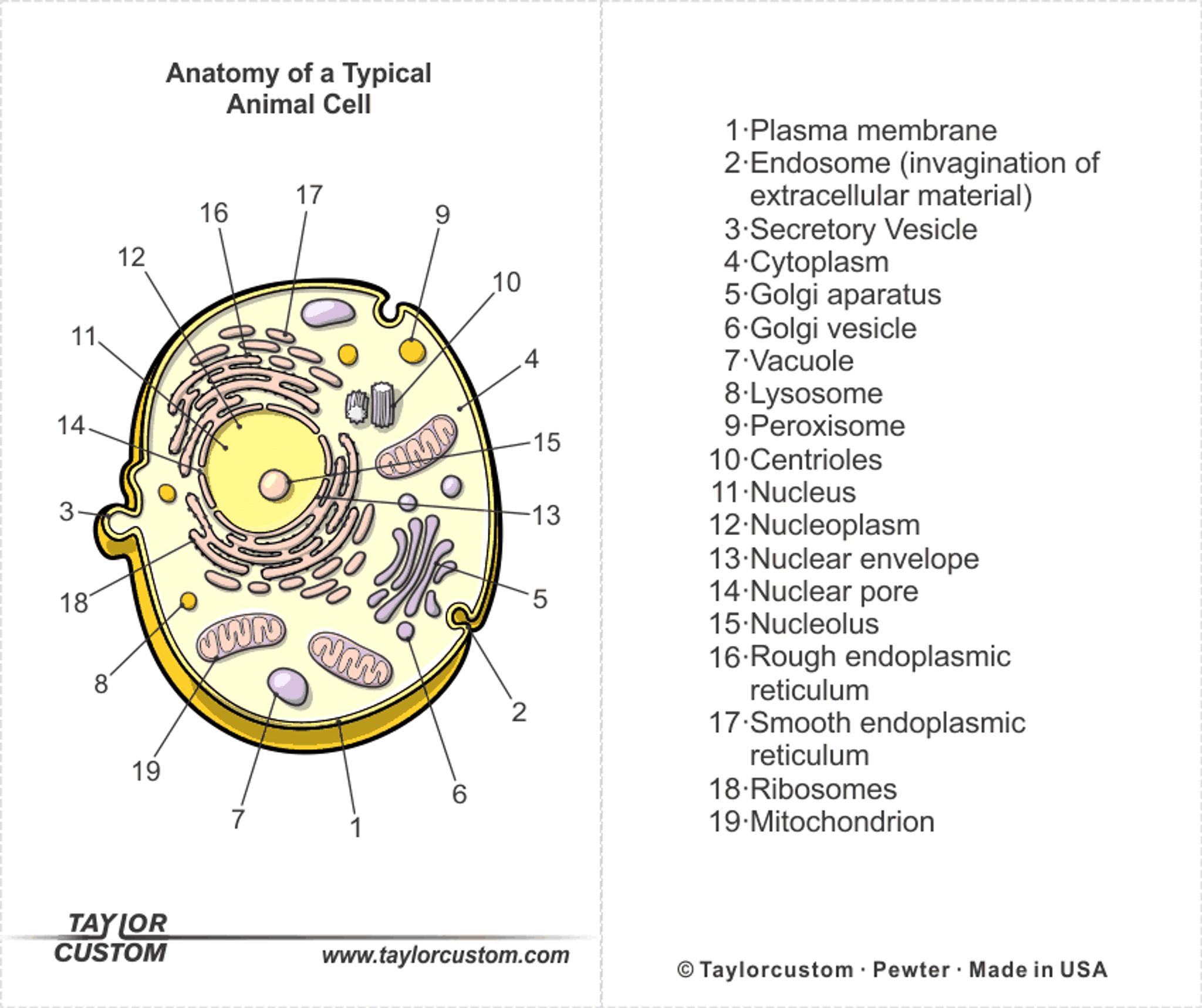 Animal Cell Keychain - Taylorcustom