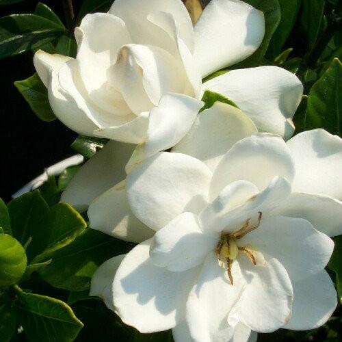 Gardenia August Beauty ...