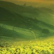 Green Tea E-Liquid