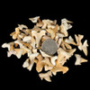 Small fossil shark teeth fossils-plus.com