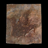 Fossilized Dinosaur Foot Print