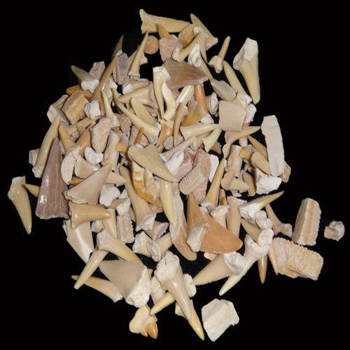 "Bulk Shark Teeth ""C"" Grade"