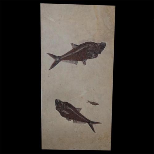 Diplomystus dentatus fossil fish