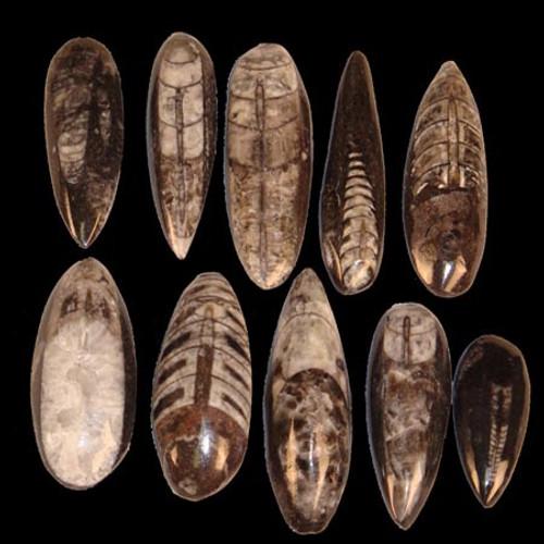 Tiny orthoceras