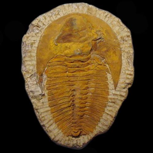 Cambropallas Trilobite From Morocco