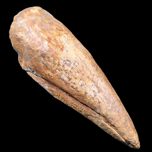 Spinosaurus foot claw