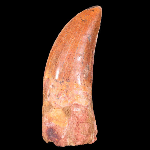 Carcharodontosaurus T-rex like dinosaur tooth from Morocco