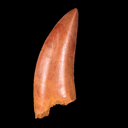 Carcharodontosaurus tooth from Morocco