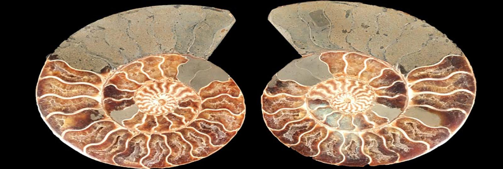 FossilsPlus.com — Quality Fossils for Collectors