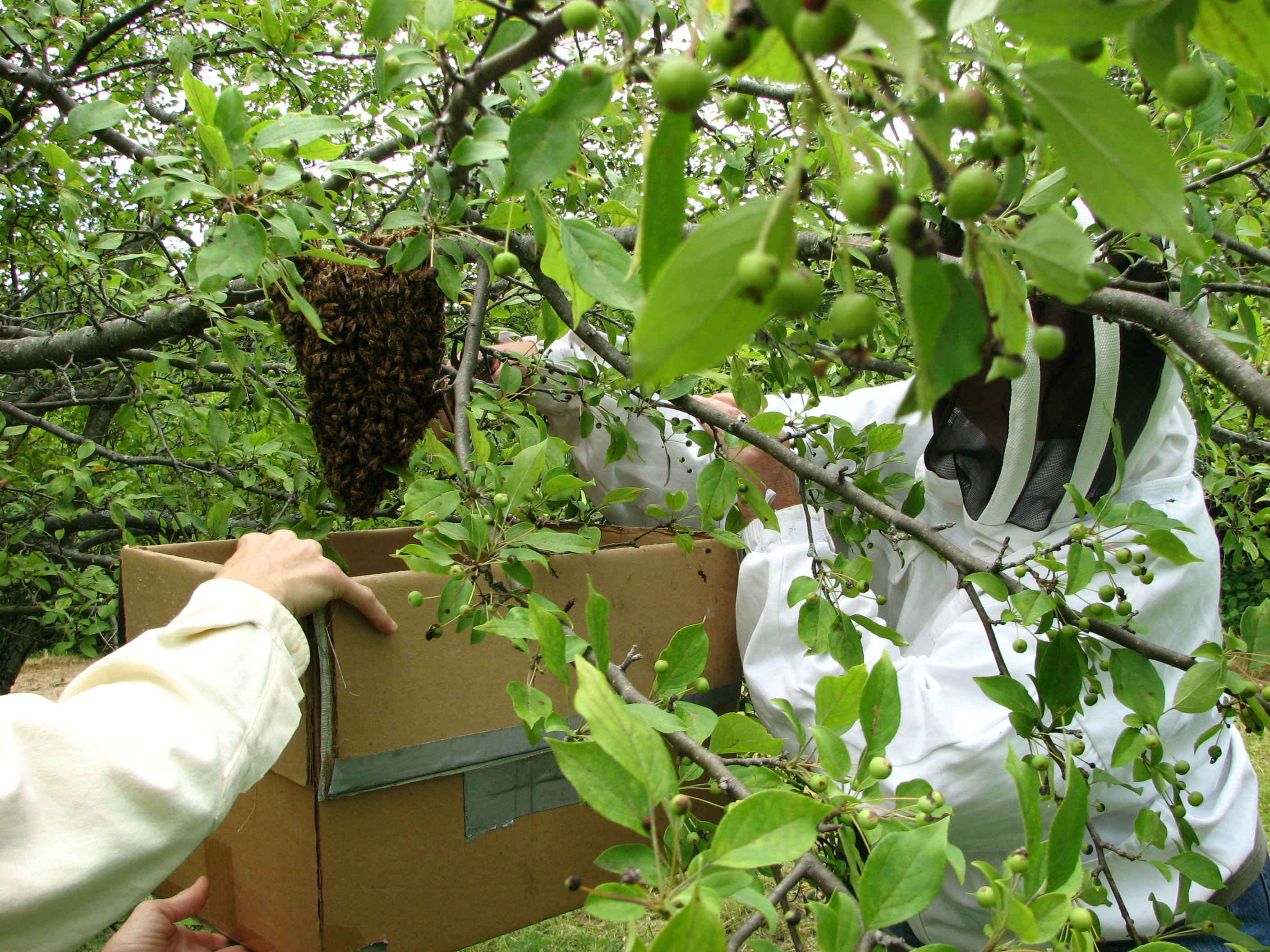 The Swarming of honey bees…