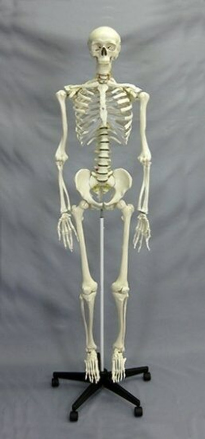 Harvey Skeleton Life Size 1st Class With Skeletal Chart Haunted