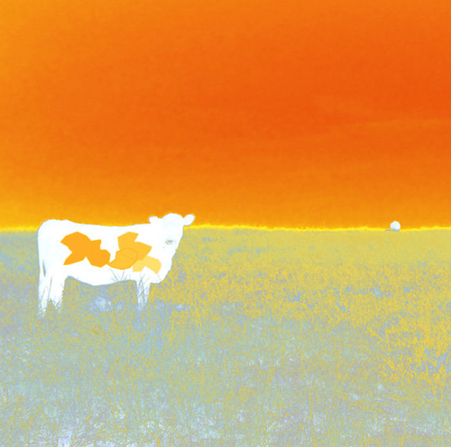 Jan Neil | I Love Cows (Orange)