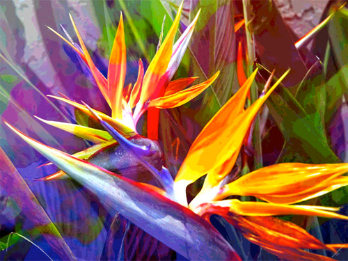 Jan Neil, Bird of Paradise Yellow