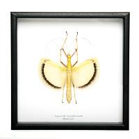 Chartreuse Winged Insect - Tagesoida Nigrofasciata