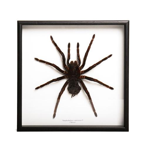Large Spider (female) - Pamphobeteus Antinous