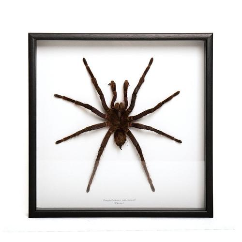 Small Spider (male) - Pamphobeteus Antinous