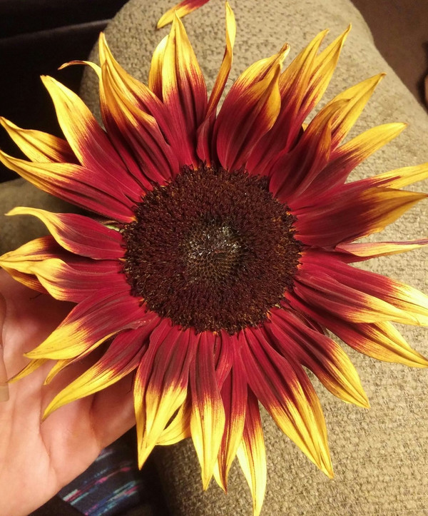 The Sunflower this pair of earrings was made from