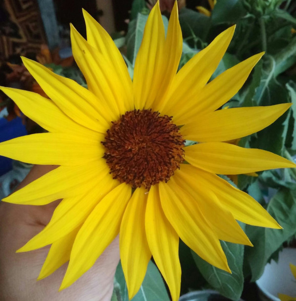 This is the Sunflower that the petals for these earrings came from!