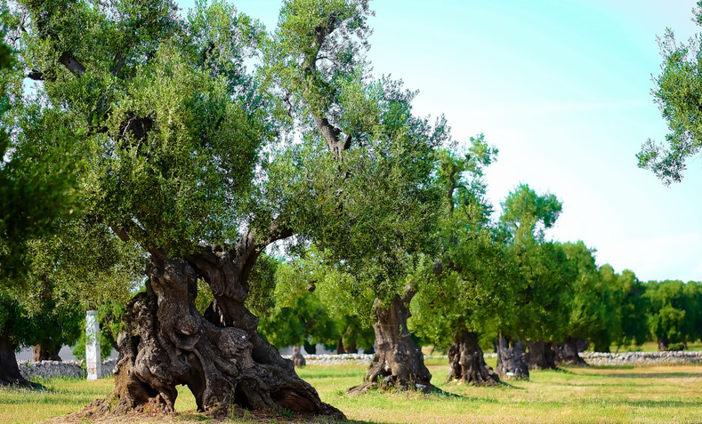 Scientists Race to Save Italy's Dying Olive Trees