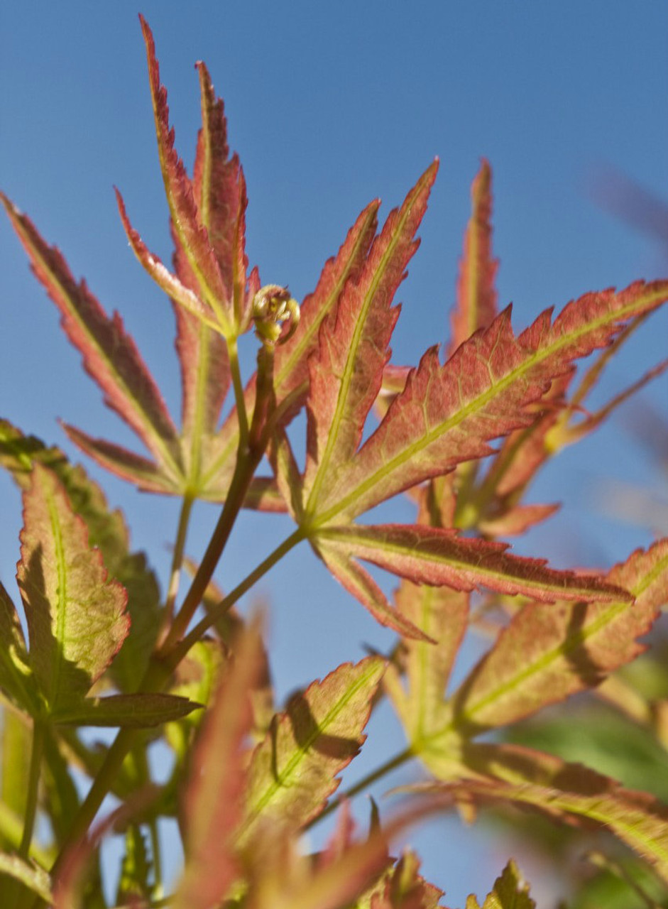 Acer Palmatum Good Potted Plant Tree Seeds Authentic Leaflets Acer