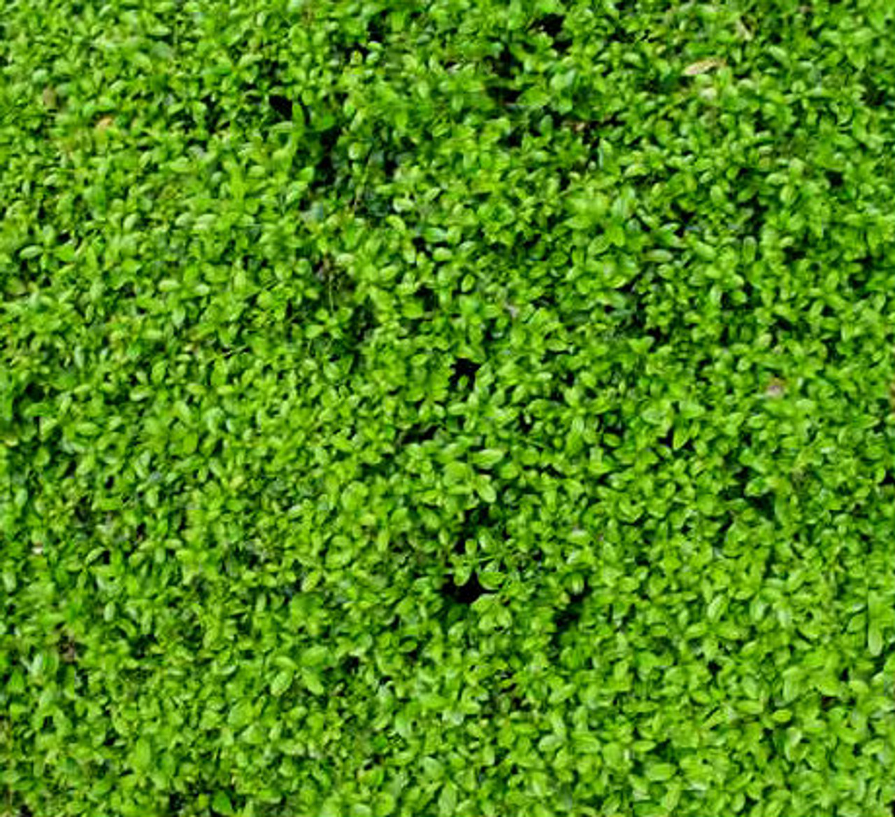 Buxus Microphylla ' Compacta ' Miniature Japanese Boxwood
