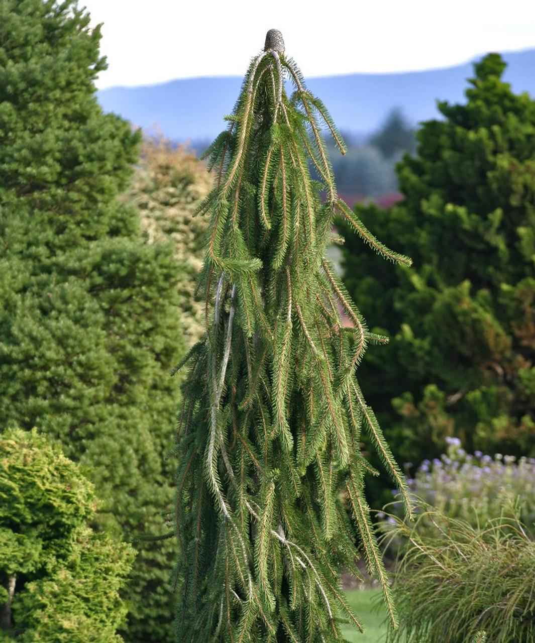 Picea abies ' Cobra ' Weeping Creeping Norway Spruce - Kigi Nursery