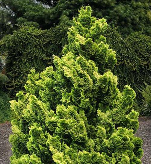 Chamaecyparis Obtusa Nana Lutea Dwarf Golden Hinoki
