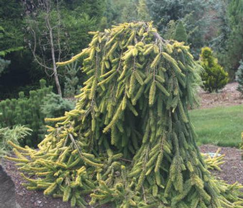 Picea Abies Gold Drift Dwarf Weeping Golden Norway Spruce