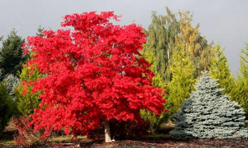 Acer Japonicum Vitifolium Fullmoon Maple Tree Kigi