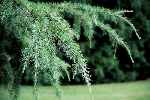 Cedrus Deodara Himalayan Cedar