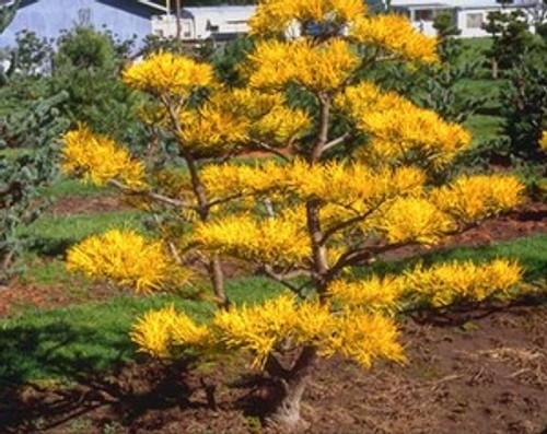 pinus virginiana wate s golden gold scrub pine kigi nursery