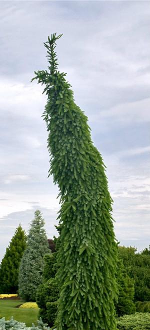 Picea Omorika Bruns Pendula Narrow Weeping Serbian