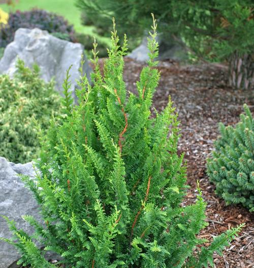 Cedar Tree Apartments: Chamaecyparis Obtusa ' Filicoides Compacta ' Hinoki
