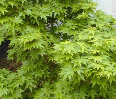 Acer Palmatum Aoba Jo Japanese Maple Tree Dwarf Kigi
